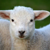 Common Weed Could Hold Key To Healthy Lamb