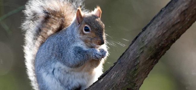 Grey Squirrel Being Inadvertently Helped