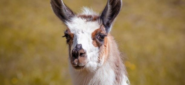 Arla The Llama Helping Covid-19 Drug Discovery