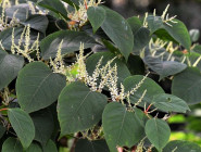 Japanese Knotweed Extract Could Cut Cancer Risk Of Processed Meat